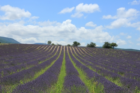 Purple lavender fields near Sault, the Provence in Southern France photo
