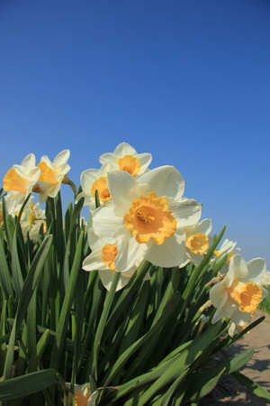 White and yellow daffodils in full sunlight, blue sky photo