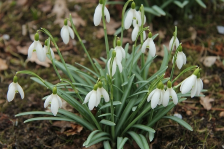 galanthus: Group of white common snowdrops in early spring