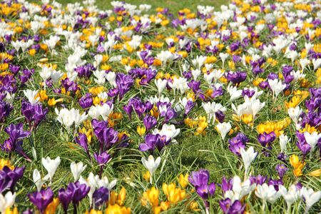 crocus: Yellow, white and purple crocusus in a meadow