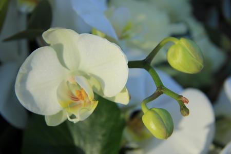 bruidsboeket: Witte phalaenopsis orchideeën in een bruidsboeket