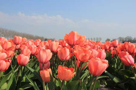 field of flower: Tulipani rosa che cresce su uno, l'industria dei fiori