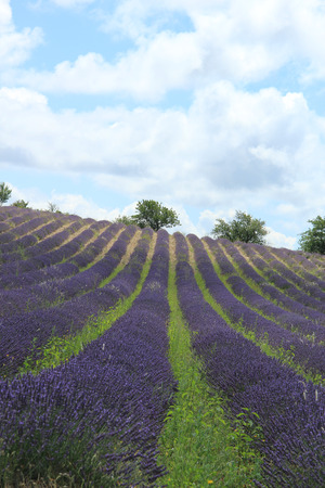 dry provisions: Purple lavender fields near Sault, the Provence in Southern France Stock Photo