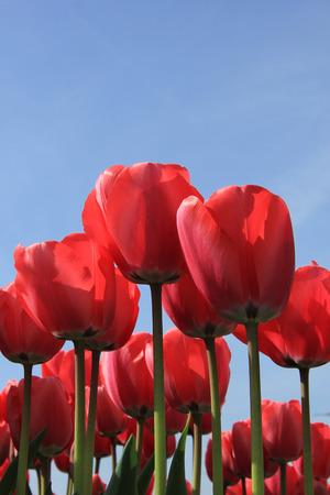 field of flower: Tulipani rosa in un campo pieno di sole, l'industria di fiori Archivio Fotografico