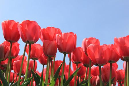 field of flower: Tulipani rosa in un campo pieno di sole, fiore industria