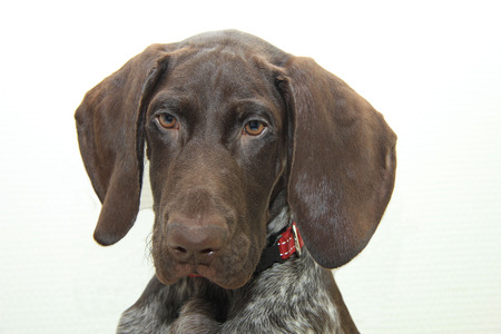 weeks: German shorthaired pointer puppy, 16 weeks old Stock Photo