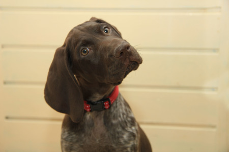 shorthaired: German shorthaired pointer puppy, 10 weeks old