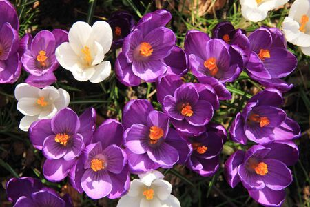 crocuses: Purple and white crocuses in early spring sunlight