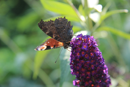 peacock butterfly: Peacock mariposa lila en verano Foto de archivo