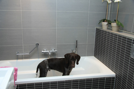 bathtub old: Five month old german shorthaired pointer male in the bathtub