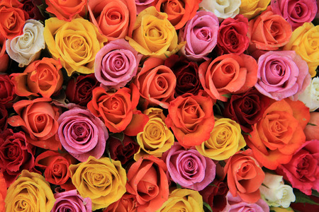 red pink: Multicored wedding roses: a mix of orange, red, pink and white Stock Photo