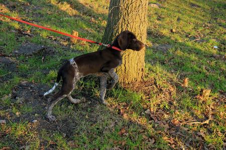 shorthaired: Alem�n shorthaired puntero cachorro, 14 semanas de edad