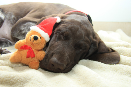 shorthaired: German shorthaired pointer puppy, 10 weeks old. Sleeping with a christmas bear