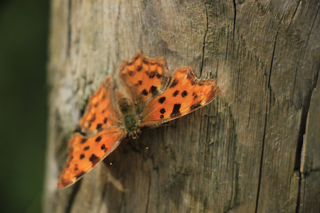 sunshine insect: Comma Butterfly or Polygonia C Album on a piece of wood Stock Photo