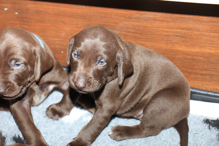 shorthaired: German shorthaired pointer puppies, 20 days old, solid liver