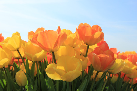 champ de fleurs: Yellow and orange tulips in a sunny field Banque d'images