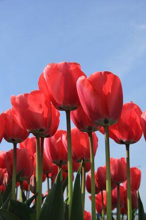 field of flower: Pink tulips in a sunny field, flower industry
