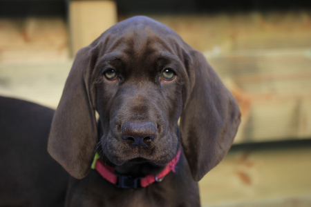 weeks: German shorthaired pointer puppy, 8 weeks old solid liver female