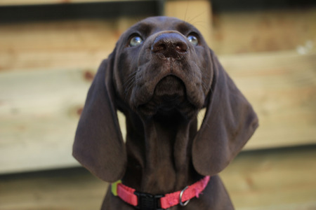 shorthaired: German shorthaired pointer puppy, 8 weeks old solid liver female