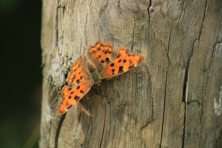 comma: Comma Butterfly or Polygonia C Album on a piece of wood Stock Photo