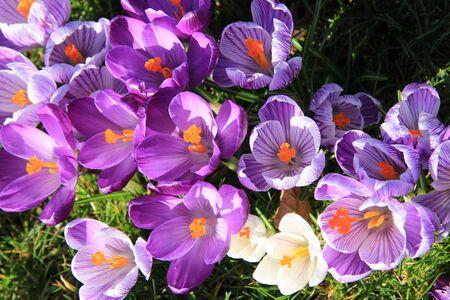 crocuses: Purple and white crocuses on a field