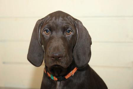 weeks: German Shorthaired pointer puppy, female, 11 weeks