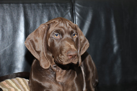 13: German Shorthaired pointer puppy, female, 13 weeks Stock Photo