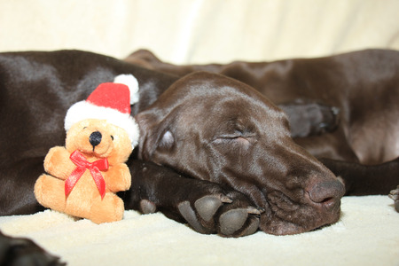 11: Christmas dog: 11 week old german shorthaired puppy