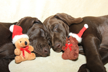 shorthaired: Christmas dogs: 11 week old german shorthaired puppies Stock Photo