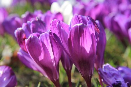 crocuses: Purple crocuses in early spring sunlight Stock Photo