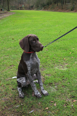 shorthaired: Young German shorthaired Pointer male, four months old