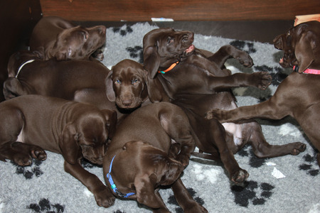 weeks: German shorthaired pointer puppies, 8 weeks old, solid liver