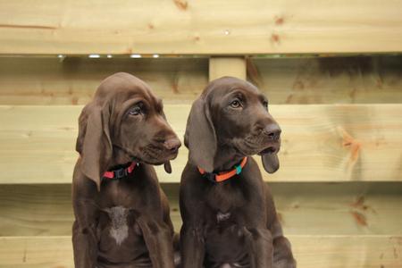 weeks: German shorthaired pointer puppies, 8 weeks old, solid liver, sisters