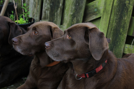 seven years: Chocolate brown labradors, males, seven years old Stock Photo