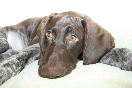 shorthaired: German shorthaired pointer puppy, 16 weeks old Stock Photo