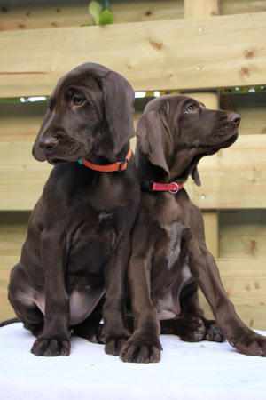 shorthaired: German shorthaired pointer puppies, 8 weeks old, solid liver, sisters