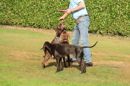 Man playing with a group of German Shorthaired Pointers in a field Stock Photo