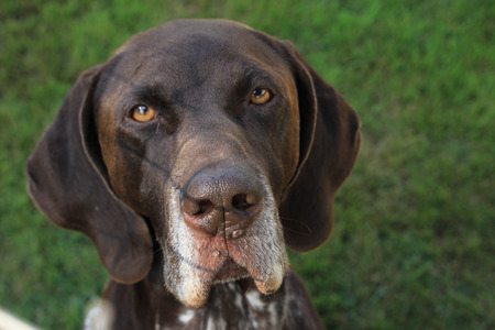 shorthaired: German Shorthaired Pointer male, six years old Stock Photo