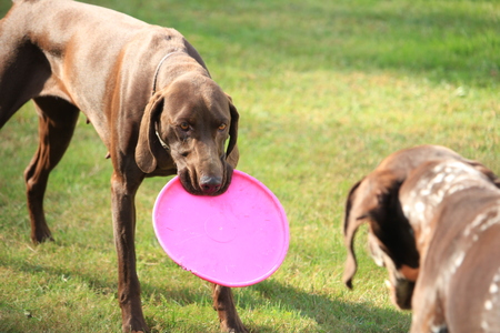 German Shorthaired Pointer female, playing with a frisbee