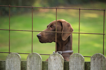 shorthaired: German Shorthaired Pointer female, looking over a fence