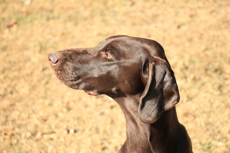 shorthaired: German Shorthaired Pointer female, 13 months old