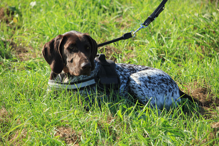 pointer dog: German Shorthaired Pointer dog in a field