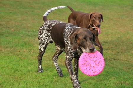 German Shorthaired Pointer male, six years old, playing with a frisbee Stock Photo