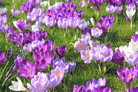 Purple and white crocuses on a field