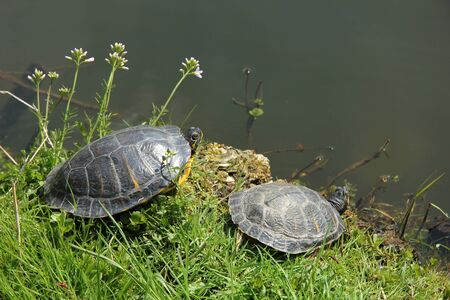 Two turtles in the sun near a pond