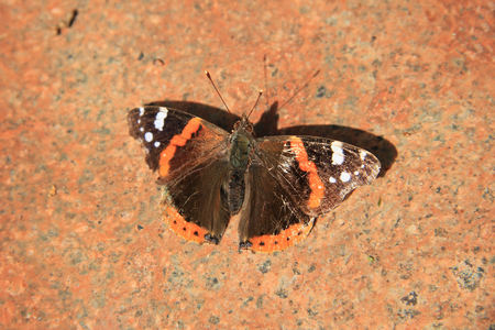 An admiral butterfly, Vanessa Atalanta, on a pink marble stone