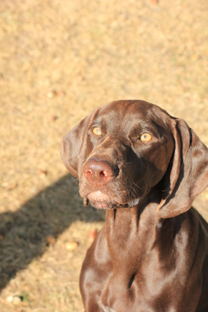 German Shorthaired Pointer female, 13 months old