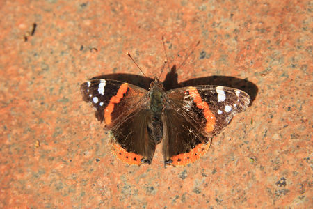 admiral: An admiral butterfly, Vanessa Atalanta, on a pink marble stone