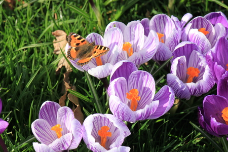 bulb fields: small tortoiseshell butterfly on a crocus in early spring sunlight Stock Photo