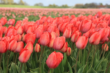 bulb fields: Pink tulips in a field: Tulips growing on an agriculture field